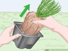 How to Plant Lavender in Pots. Lavender plants are beautiful and fragrant plants that thrive in warm dry climates. Not all climates are great for them, so sometimes they need a little extra care to grow well and produce the blossoms you. Lavender Potted Plant, Lavender Plant Care, Growing Lavender, Vegetable Garden, Garden Plants, Indoor Plants, Potted Plants, Organic Vegetables, Growing Vegetables