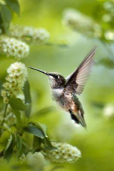 Hummingbird [Colibrí]