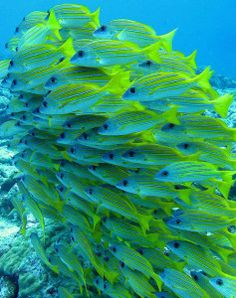 snappers cape verde islands