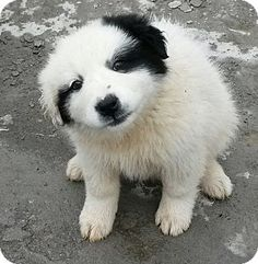 Staten Island, NY - Louie's Legacy, Great Pyrenees/St. Bernard Mix. Meet Tammy, a puppy for adoption. http://www.adoptapet.com/pet/12671855-staten-island-new-york-great-pyrenees-mix