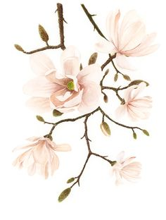 Magnolia watercolor on Behance