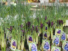 Frühlingsbote, so schön wie die Iris-Pflanze mit ihren zierlichen Blüten aussieht!  #erlebnisgärtnerei #hödnerhof #ebbs #kufstein #mils #hall #tirol #größtegärtnereitirol #gärtnerei #eigenprodukion #pflanzenwelt #dekowelt #ausflugsziel #erleben #cafebistro #wirliebenblumen #flowerlovers #spring #bumenliebe #zwiebelpflanze #springflower #iris #springtime #frühlingsbote Innsbruck, Plants, Inspiration, Bearded Iris, Garden Plants, Seasons, Flowers, Blue, Biblical Inspiration