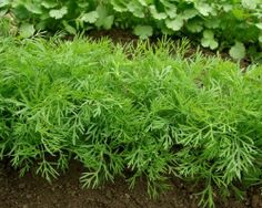 Getting Bushy Herb Plants: How To Trim A Dill Plant - What special care does dill need, if any? Should you prune dill? If so, does it make for more bushy herb plants? Find out if you should prune dill and, if so, how to trim a dill plant in this article. Vegetable Garden, Garden Plants, Herb Plants, Garden Shade, Container Gardening, Gardening Tips, How To Grow Dill, Herbs Indoors, Growing Herbs