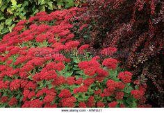Autumn border Sedum spectabile 'Autumn Joy' Berberis Rose Glow September sedums - Stock Image