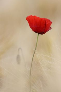 coquelicot - HELLIER Emmanuel - france