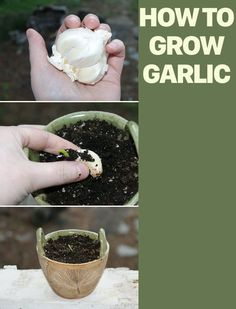 Gardening hacks. How to grow garlic to get twenty cloves by planting just a single garlic clove. Fall is the perfect time to plant your garlic for a spring crop. Learn how to plant garlic! Just one clove of garlic can produce up to an additional twenty cloves so don't toss those sprouted cloves, plant them instead! Start planning your fall garden today - and don't forget to include the garlic!