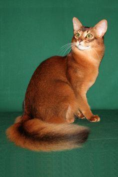 Милый кот породы Сомали фото