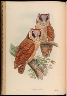 n79_w1150 by BioDivLibrary, via Flickr  John Gold Birds of Asia 1850-1883