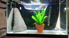 Angelfish Breeding Tank Setup Freshwater Aquarium, Aquarium Fish, Aquarium Ideas, Fish Breeding, Tropical Fish Tanks, Angelfish, Fresh Water, Aquariums, Plants