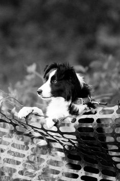 Eager border collie watching the sheep dog trials.