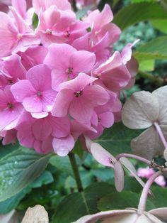 hortensia in de achtertuin (2) Plants, Photos, Plant, Planting, Planets