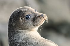 BWPA - Over The Shoulder Selkie (Seal) Shetland by Crieffy., via Flickr