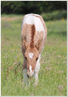 American Bashkir Curly Foal
