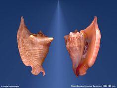 Lobatus peruvianus, Malacologia - Casa Museo Matteo Sercia - Favignana