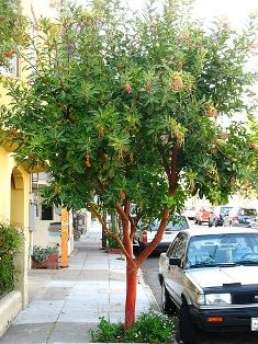 Replacement Tree: Arbutus Unedo (Strawberry Tree) Is Evergreen, Small And  Has Interesting Bark Texture