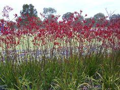 Kangaroo Paw plant - Australia
