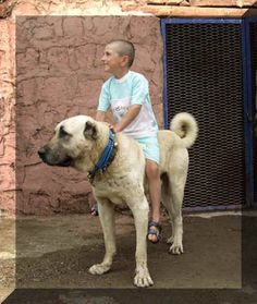 Kangal dogs can protect a here from cheetah, lion, leopard. Though such power, they are most protective and delicate with the young