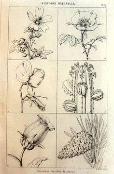 1852 vintage original Jussieu système fleurs gravure, antique botanique plantes imprimé, bizarrerie curiousbotany taxonomie cactus plaque.
