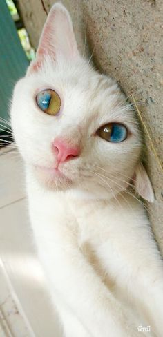Supposedly all-white cats with blue eyes are deaf. Hopefully this pretty one beat the genetics.