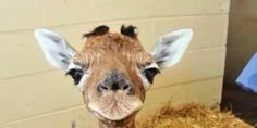 PLEASE SIGN THE PETITION to Fire Bengt Holst From the Copenhagen Zoo For Having Marius the Giraffe Killed