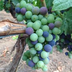 Malbec grapes during veraison (onset of ripening