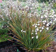 Libertia 'Amazing Grace' 1 flower