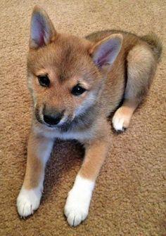 Rigby the Shiba Inu-Cute!