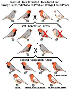 Zebra Finch Mutations | The Varieties and Genetics of the Zebra Finch