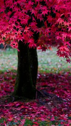 Tree in fall with red leaves Seasons Of The Year, Belleza Natural, Beautiful World, Autumn Leaves, Mother Nature, Bonsai, Beautiful Pictures, Scenery, Pink Leaves