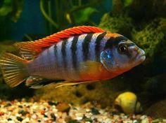 "Labidochromis sp. ""Hongi"" (SRT)"