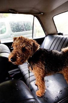 my dog ramsey was a welsh terrier. we put him to sleep when i was 11. i miss him so much!