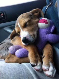 Catahoula Puppy Cuddles   #puppy #cute #catahoula