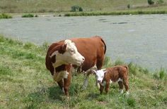 Bryan Hill Farm in Broadway, VA breeds and sells Miniature Hereford cattle and Haflinger horses. Mini Hereford, Miniature Hereford, Miniature Cattle, Hereford Cattle, Hereford Beef, Farm Animals, Animals And Pets, Miniature Cow Breeds, Haflinger Horse