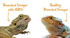 Bearded Dragon Health: The Causes of Impaction You are in the right place about Lizards girl Here we offer you … Bearded Dragon Food, Bearded Dragon Habitat, Bearded Dragon Terrarium, Amphibians, Reptiles, Lizard Girl, Dragon Facts, Dragon Memes, Bearded Dragon Enclosure