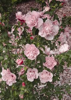 Buy tree hollyhock Hibiscus syriacus 'Pink Chiffon ('Jwnfour') (PBR)': Delivery by Waitrose Garden in association with Crocus Rose Of Sharon, Hibiscus Flowers, Pink Flowers, Hibiscus Rosa Sinensis, Florida Gardening, Hollyhock, Back Gardens, Garden Inspiration, Flowers