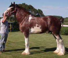 Clydesdale - stallion Solomon's Benedict
