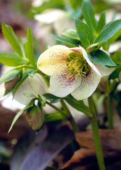 Hellebore/Lenten Rose. Perennial. (*SB loves this.*) Easy. Deer-resistant and mostly evergreen, hellebores' divided leaves rise on sturdy stems and may be serrated (like a knife) along the edges. They do best in shade where soil remains moist; some prefer acid or alkaline conditions, depending on variety.  Winter interest. 1-4' tall.