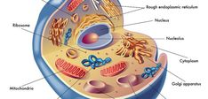 Regenerace  mitochondrií, část I: Dysfunkce, výživa a stárnutí. Funkční mitochondrie jsou základem dobrého zdraví do vysokého věku, tento článek ukazuje jak fungují nebo nefungují v průběhu života. Cello, Diabetes, It Cast, Cellos