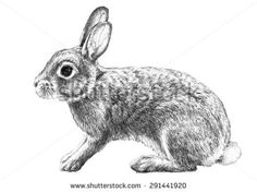 cottontail rabbit illustration, hand drawn pencil sketch isolated on white background, animal clip art or graphic art image, cute adorable Easter bunny rabbit, farm animal, domestic pet animal