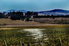 New wiring in the vineyards reflecting the sun by Nauta Piscatorque