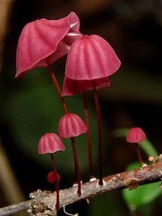 Pretty Pink Marasmius haematocephalus Mushrooms
