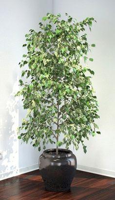 ficus benjamini vermehren pflanzen pinterest ableger zimmerpflanzen und pflanzen. Black Bedroom Furniture Sets. Home Design Ideas