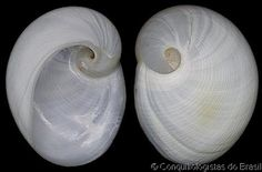 Sinum perspectivum  (Say, T., 1831)  Common Atlantic/(White) Baby Ear/Moon Snail  Shell size  20 - 51 mm  Maryland, USA - Colombia - C Brazi...