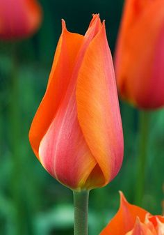 Tulip 'Temple of Beauty'