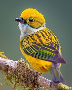 Silver-throated tanager Tangara icterocephala), a brightly colored yellow and green passerine bird. This beautiful bird resides in Costa Rica, Panama, western Colombia, and western Ecuador. Cute Birds, Pretty Birds, Exotic Birds, Colorful Birds, Yellow Birds, Tropical Birds, Exotic Pets, Beautiful Creatures, Animals Beautiful