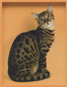 Bengal by Elad Lassry, Guggenheim Photos Size: cm Medium: Chromogenic print in painted frame Solomon R. Guggenheim Museum, New York Purchased with funds contributed by the. Maurice Careme, International Cat Day, Son Chat, Photography Exhibition, Like A Cat, New York Art, Collaborative Art, Contemporary Photography, Art World