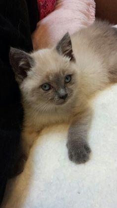 6 week old blue point siamese kitten.