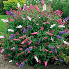 LARGE Buddleia Tricolour - Amazing Multicoloured Butterfly Bush in BUD