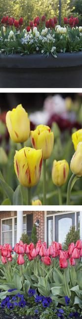 Bulbs: All About Tulips