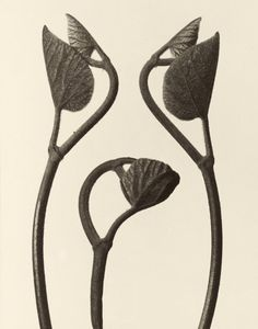 Birthwort Shoots of Tendrils n. Gelatin Silver Print Long-term loan from Berlin University of the Arts – Karl Blossfeldt Collection at Die Photographische Sammlung/SK Stiftung Kultur, Cologne Karl Blossfeldt, Vintage Photography, Nature Photography, Natural Form Art, Image Nature, Getty Museum, Gelatin Silver Print, Organic Shapes, Beauty Art